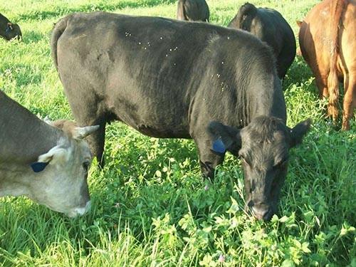 Black heifer