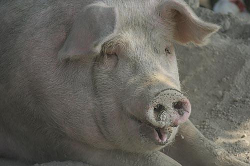 Organically Fed Pork
