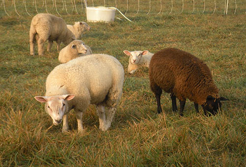 Our flock of sheep is a blend of Finn, Merino, and Texel sheep.  Texel sheep originated on the island of Texel in the Netherlands, and  product very muscular, lean, and mild tasting meat.